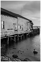 Ruined Wharf and ducks, Bodega Bay. Sonoma Coast, California, USA ( black and white)