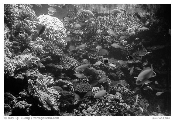 Coral and tropical fish, Monterey Bay Aquarium. Monterey, California, USA (black and white)