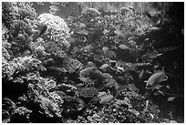 Coral and tropical fish, Monterey Bay Aquarium. Monterey, California, USA ( black and white)