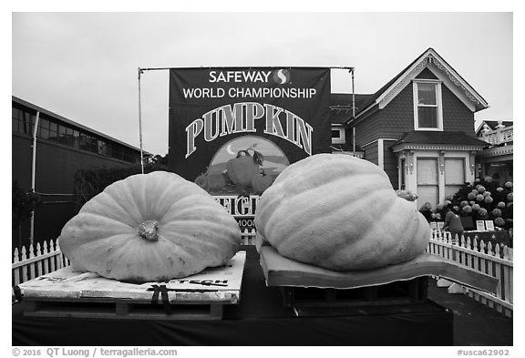 Giant pumpkins contest. Half Moon Bay, California, USA (black and white)