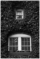 Windows with ivy, Korbel Champagne Cellars, Guerneville. California, USA ( black and white)