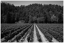 Vineyard, Korbel Winery, Guerneville. California, USA ( black and white)