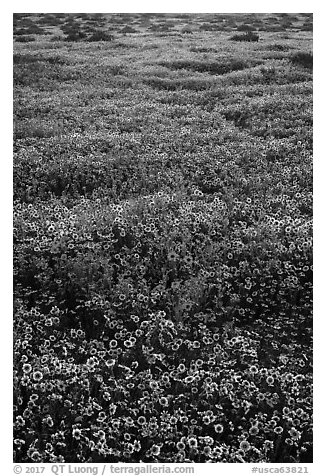 Hillside daisies and tidytips. Carrizo Plain National Monument, California, USA (black and white)