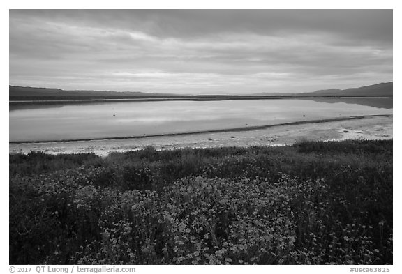 Wildflowers and pond. Carrizo Plain National Monument, California, USA (black and white)