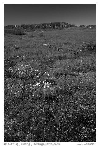 Wildflowers and Caliente Range. Carrizo Plain National Monument, California, USA (black and white)