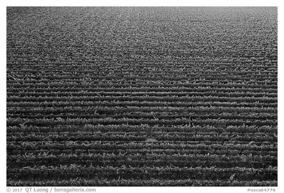 Aerial view of rows of vines in summer. Livermore, California, USA (black and white)