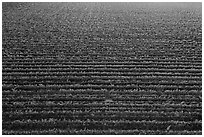 Aerial view of rows of vines in summer. Livermore, California, USA ( black and white)