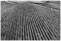 Aerial view of rows of vines on hill in autumn. Livermore, California, USA ( black and white)