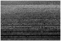 Aerial view of multicolored rows of vines in autumn. Livermore, California, USA ( black and white)