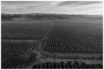 Aerial view of rows of vines and paths. Livermore, California, USA ( black and white)