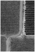 Aerial view of vineyards, tree and paths looking straight down. Livermore, California, USA ( black and white)