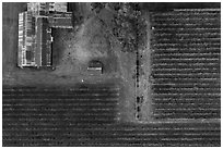 Aerial view of rusted barn and rows of vines looking straight down. Livermore, California, USA ( black and white)