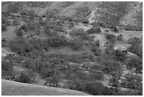 Hillside with oaks in winter, Del Valle Regional Park. Livermore, California, USA ( black and white)