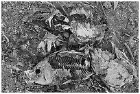 Close-up of dead fish, Bombay Beach. California, USA ( black and white)