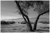 Desert trees and Salton Sea. California, USA ( black and white)