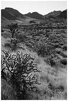 Cacti and Castle Mountains. Castle Mountains National Monument, California, USA ( black and white)