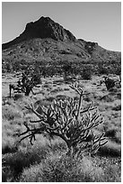 Cactus, Joshua Trees, grassland, and Hart Peak. Castle Mountains National Monument, California, USA ( black and white)