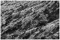 Slopes with juniper trees. Castle Mountains National Monument, California, USA ( black and white)