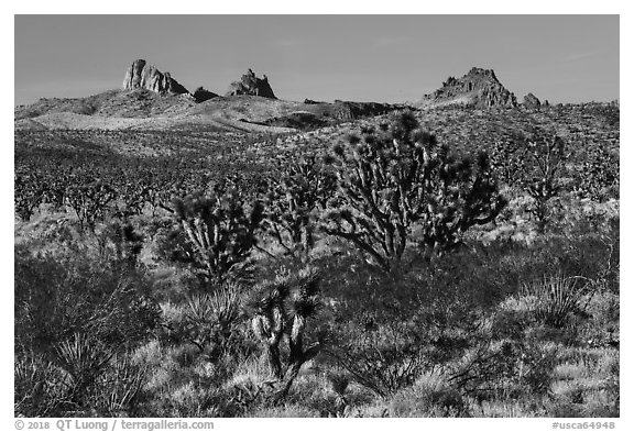 Joshua Trees and Castle Peaks. Castle Mountains National Monument, California, USA (black and white)