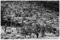 Dense Joshua Tree forest of slope. Castle Mountains National Monument, California, USA ( black and white)