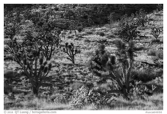 Joshua Trees and cacti. Castle Mountains National Monument, California, USA (black and white)