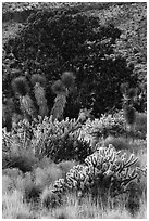 Cactus, yucca, and juniper. Castle Mountains National Monument, California, USA ( black and white)