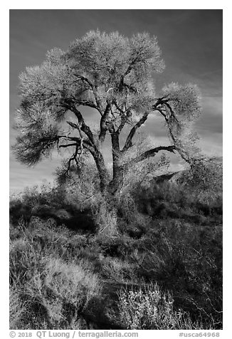 Fremont Cottonwood with bare branches, Mission Creek Preserve. Sand to Snow National Monument, California, USA (black and white)