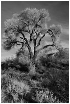 Fremont Cottonwood with bare branches, Mission Creek Preserve. Sand to Snow National Monument, California, USA ( black and white)