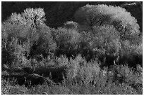 Riparian desert vegetation and cottowoods in winter, Mission Creek Preserve. Sand to Snow National Monument, California, USA ( black and white)
