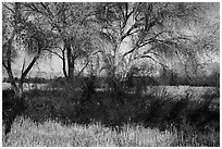 Grasses and cottonwoods in winter, Big Morongo Canyon Preserve. Sand to Snow National Monument, California, USA ( black and white)