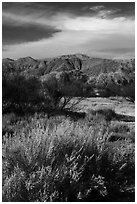 Grasses, bare trees, and mountains, Big Morongo Canyon Preserve. Sand to Snow National Monument, California, USA ( black and white)
