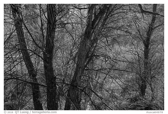 Trees with bare branches, Big Morongo Canyon Preserve. Sand to Snow National Monument, California, USA (black and white)