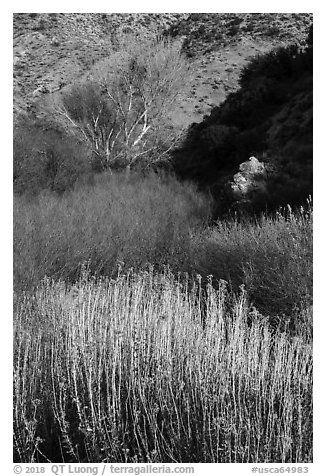 Riparian vegetation in winter, Big Morongo Canyon Preserve. Sand to Snow National Monument, California, USA (black and white)