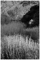 Riparian vegetation in winter, Big Morongo Canyon Preserve. Sand to Snow National Monument, California, USA ( black and white)