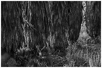 Trunks of palm trees, Big Morongo Canyon Preserve. Sand to Snow National Monument, California, USA ( black and white)