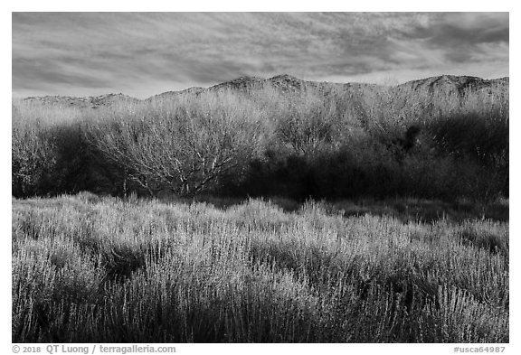 Goldenbush and bare trees in winter, Big Morongo Canyon Preserve. Sand to Snow National Monument, California, USA (black and white)