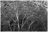 Sycamores with fall foliage. Santa Rosa and San Jacinto Mountains National Monument, California, USA ( black and white)