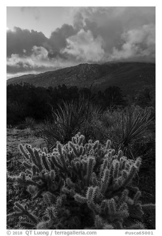 Cacti and Santa Rosa Mountains with clouds colored by sunrise. Santa Rosa and San Jacinto Mountains National Monument, California, USA (black and white)