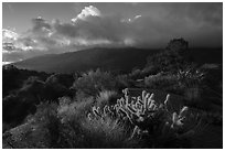 Cactus, Pinyon pines and Santa Rosa Mountains. Santa Rosa and San Jacinto Mountains National Monument, California, USA ( black and white)