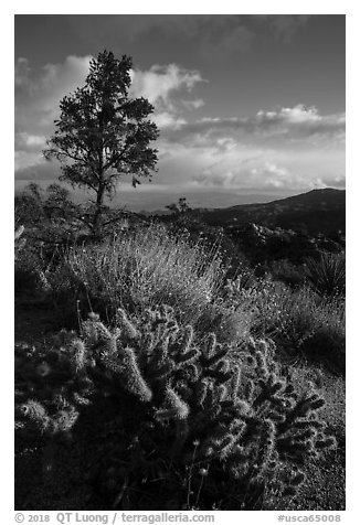 Cactus and pinyon pine near Cahuilla Tewanet Vista overlook. Santa Rosa and San Jacinto Mountains National Monument, California, USA (black and white)