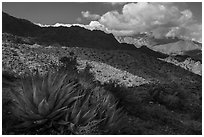 Agave and Santa Rosa Mountains. Santa Rosa and San Jacinto Mountains National Monument, California, USA ( black and white)