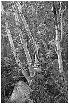 Trees and leaves, Tahquitz Canyon, Palm Springs. Santa Rosa and San Jacinto Mountains National Monument, California, USA ( black and white)