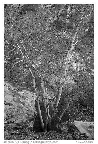 Trees and rocks, Tahquitz Canyon, Palm Springs. Santa Rosa and San Jacinto Mountains National Monument, California, USA (black and white)