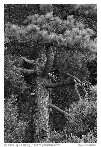 Pine tree. San Gabriel Mountains National Monument, California, USA (black and white)