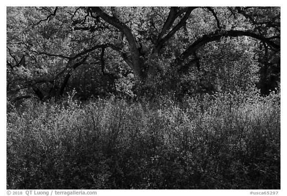 Backlit oak tree in the spring. Berryessa Snow Mountain National Monument, California, USA (black and white)