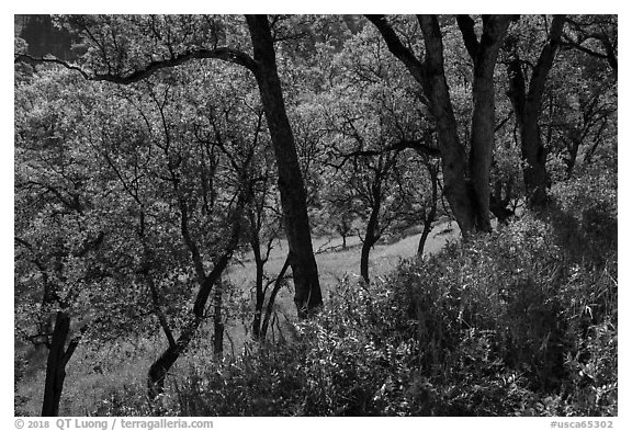 Wildflowers and oak trees in spring. Berryessa Snow Mountain National Monument, California, USA (black and white)