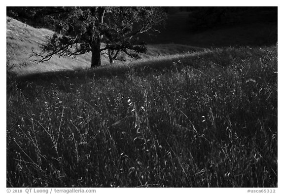 Grasses and oak trees, Cache Creek Wilderness. Berryessa Snow Mountain National Monument, California, USA (black and white)
