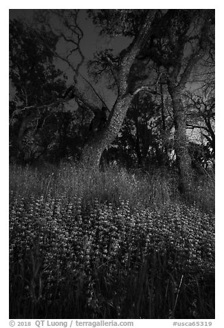 Lupine and oaks at night, Cache Creek Wilderness. Berryessa Snow Mountain National Monument, California, USA (black and white)