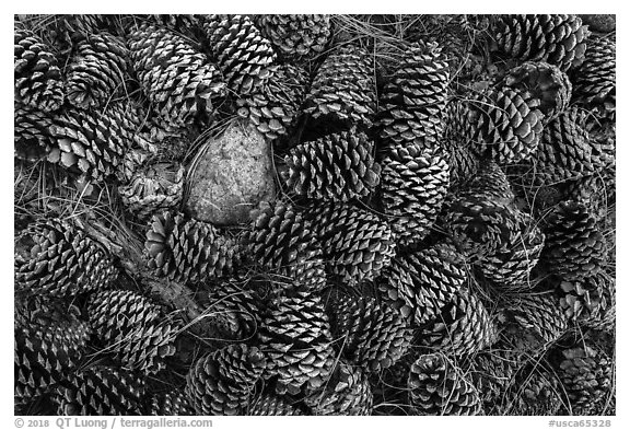 Close-up of pine cones, Snow Mountain Wilderness. Berryessa Snow Mountain National Monument, California, USA (black and white)