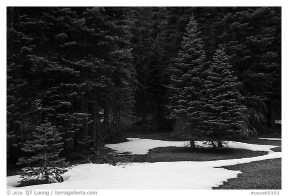 Red fir forest with patches of snow on ground, Snow Mountain. Berryessa Snow Mountain National Monument, California, USA (black and white)